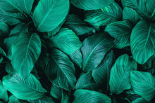 Closeup Tropical Green Leaf Nature In The Garden And Dark Tone Background Concept