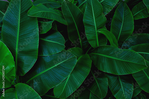 Poster Spring tropical banana leaf, abstract green banana leaf, large palm foliage nature dark green background