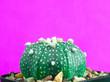 Leinwanddruck Bild - Cactus Astophytum Asiatu pink background