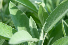 Extreme Close-up Of Sage Leave...