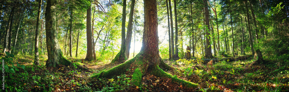 Fototapety, obrazy: Fir tree woods in early morning with beautiful sunlight