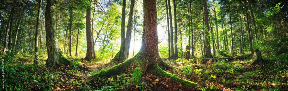 Fototapeta Fir tree woods in early morning with beautiful sunlight