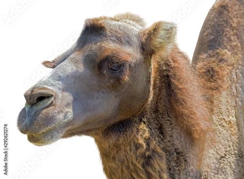Poster Chameau Portrait of Camel