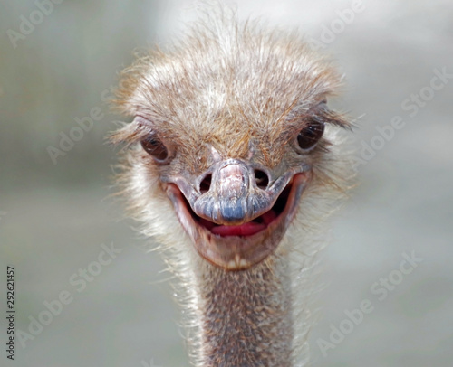 Photo sur Aluminium Autruche funny ostrich at farm