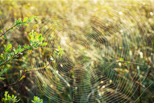 Cobweb On The Branches In The ...
