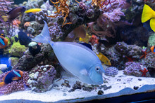 Bluespine Unicorn Tang..(Naso ...