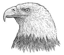 Bald Eagle Portrait Illustrati...