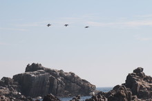 Pelicans Flying Over The Rocks And The Sea