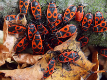 The Firebug, Pyrrhocoris Apte...