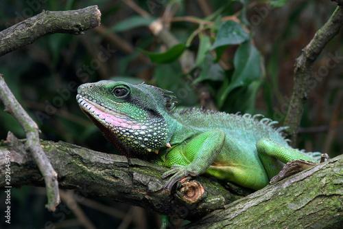 Poster Montagne Grüne Wasseragame (Physignathus cocincinus) Grüner Wasserdrache
