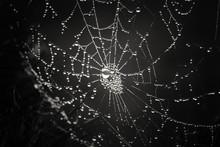 Cobwebs In The Dew On Black Ba...