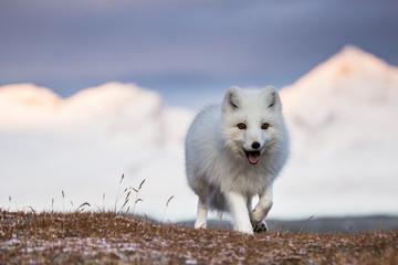 Lis polarny w promieniach zachodzącego słońca