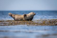 Common Seal In Shetland