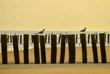 Seagulls Resting On Wooden Sta...