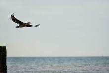 Cormoran Volant Au Dessus De La Mer