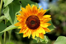 Fully Open Blooming Sunflower Plant With Bright Yellow With Red Petals And Dark Center Surrounded With Dense Leaves In Local Urban Garden On Warm Sunny Summer Day