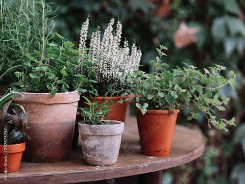 Valokuva Plants in pot. Herbs and flowers.
