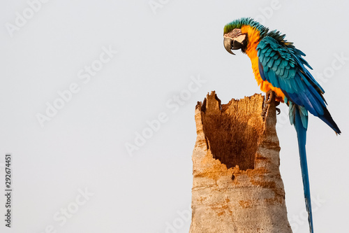 Close up of an endangered Blue-and-yellow macaw sitting on a palm tree trunk, si Canvas Print