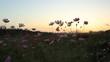 コスモスと夕焼け空