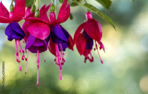 Fotografia Purple and pink Fuchsia flower with green background for Spring Summer