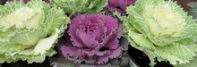 Ornamental Cabbage, White And ...