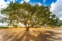 Árvore Do Sertão