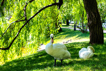 Swans On The Lake. Swans In Th...