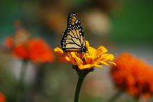 Yellow Monarch Butterfly On Yellow Flower