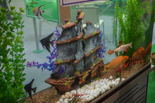 A Fish Aquarium That Has Boat Inside, Fishes, Stone, Golden Fish, Black Fish.