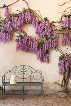 Blooming Wisteria Plants On A Background Of A House Wall With A Bench. Wisteria In Full Bloom In A Peaceful Corner Of The Garden With A Bench. An Ideal Place For Privacy And Tranquility. Spring Time.