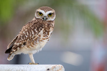 Lonely Owl On A Soccer Goal Wi...