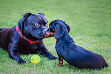 A Staffordshire Bull Terrier D...