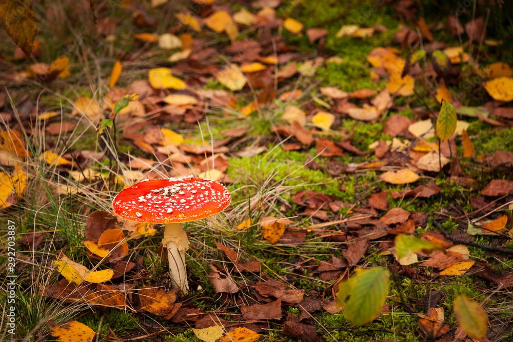 Fototapeta Muchomor czerwony