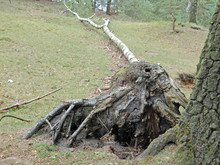Uprooted Stump Of A Tree In Th...