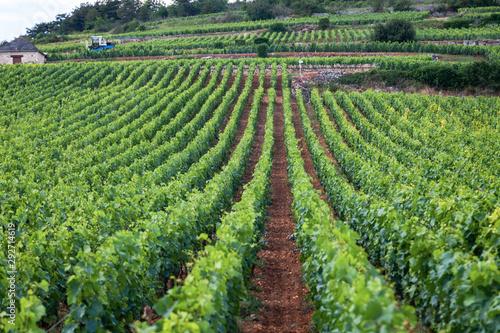 Obraz na plátně Closeup panoramic shot of rows summer vineyard scenic landscape, plantation, beautiful wine grape branches, sun, limestone land