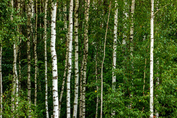 Panel Szklany Podświetlane Brzoza Forest birch grove of northeast Poland.