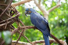 Hyacinth Macaw Is Watching The...