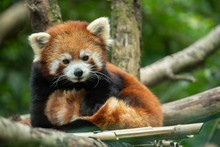 Red Panda Has Spotted You And ...