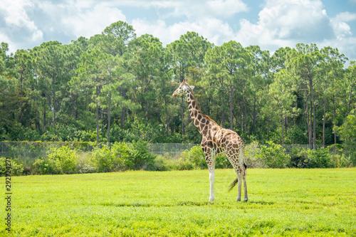 Poster Pays d Europe giraffes in the drive through zoo safari park