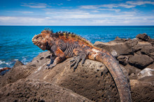 Marine Iguana Get The Heat Of The Sun On The Rocks At San Cristobal Galapagos Islands