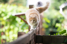 Young Cream Tabby Ginger Maine Coon Cat Balancing On Wooden Fence Walking Looking Straight Ahead