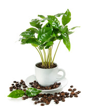 Coffee Plant In Coffee Cup Iso...