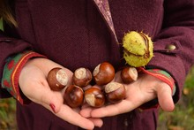 Child Holding Autumn Conkers