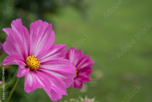 Poster Nature cosmea flower closeup. Heavily blurred background. Postcard.