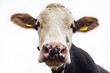 Cow head close-up