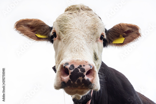 plakat Cow head close-up
