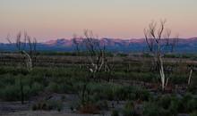 Dead Trees At Topock Marsh Near Needles AZ