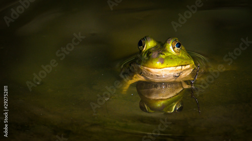 Spoed Foto op Canvas Kikker Bullfrog Frog in the pond
