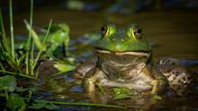Bullfrog Frog At The Pond