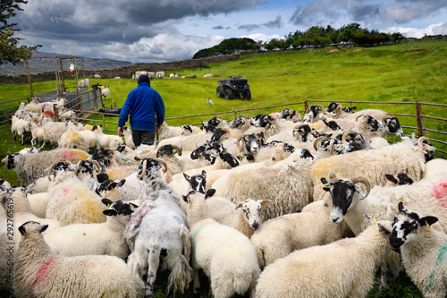 Fotomural Farmer collecting group of Swaledale sheep for innoculation shots on a farm in Y